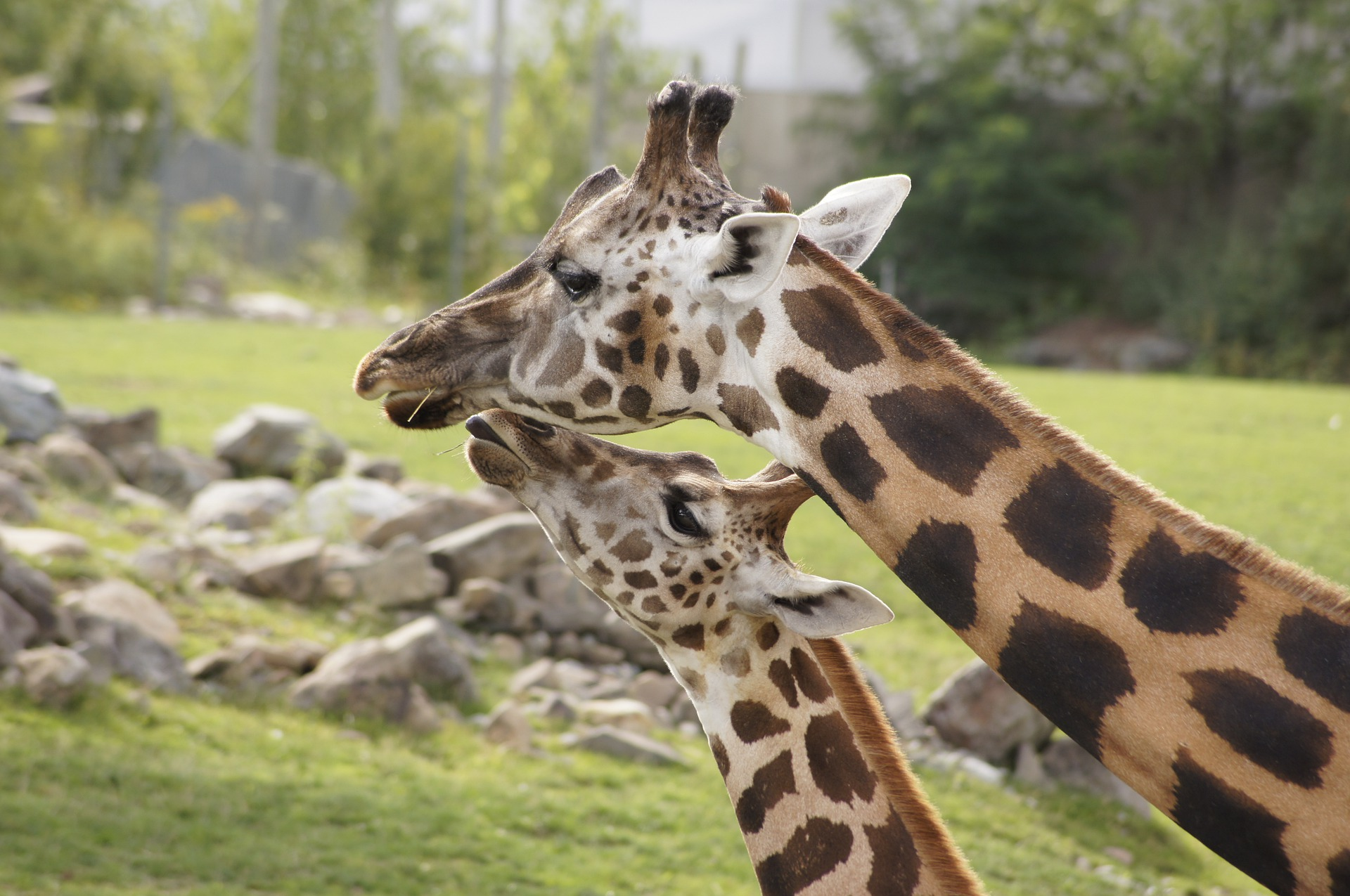 Books featuring giraffes to pair with our virtual Cincinatti Zoo field trip