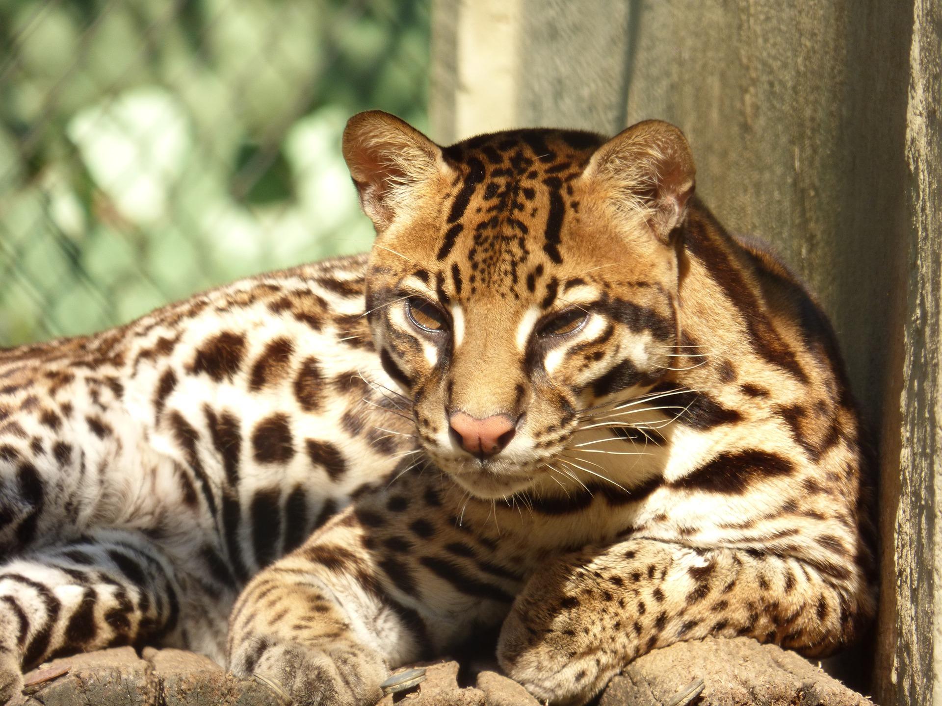 All about ocelots! Resource list to follow Cincinnati Zoo