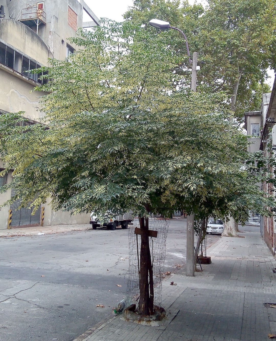 Street Trees in Early Charleston: Fountains of Air and Shade