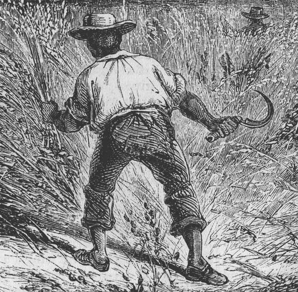 Harvesting Rice (Harper's Monthly, 1859)