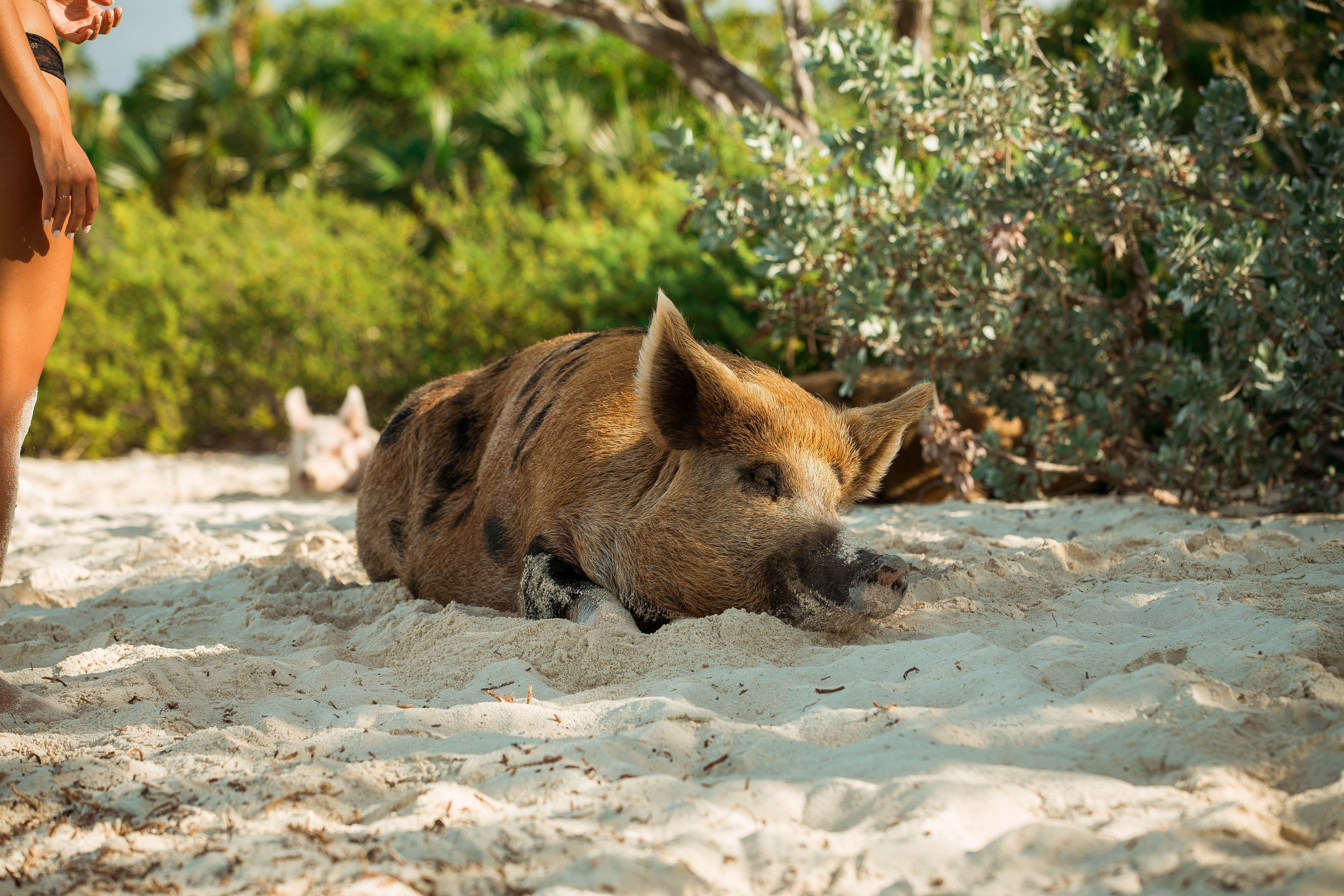 Stories with wild pigs: Book list for Thursday