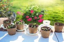 Seedlings - gardening - green thumb