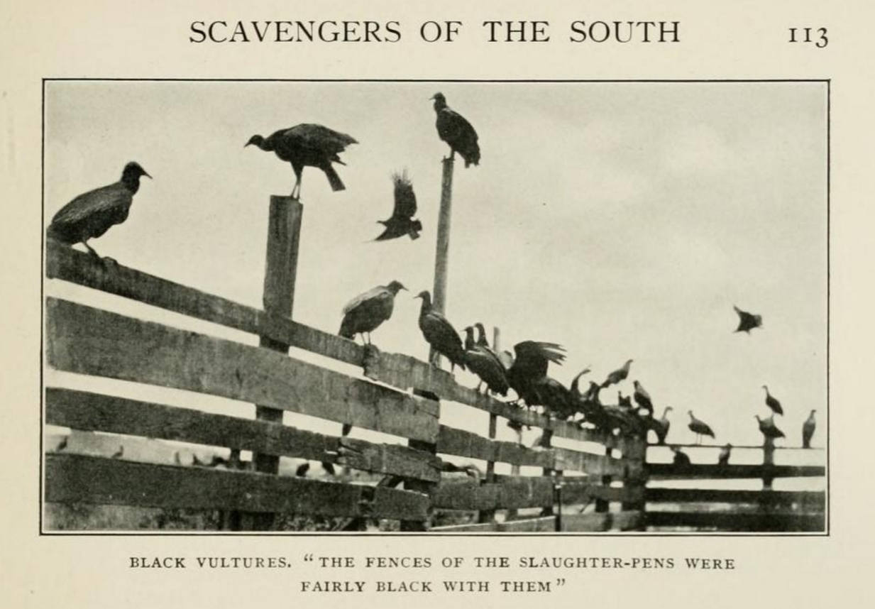 Charleston's slaughterhouse vultures, from Herbert K. Job's Wild Wings (1905)